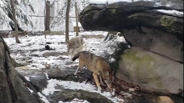 Wolves enjoying a snowy morning at the zoo