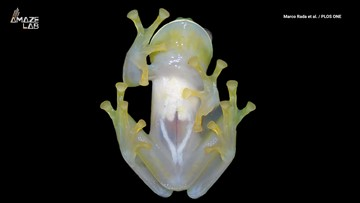 New See-Through Frog Species Discovered From Its Unique Sound