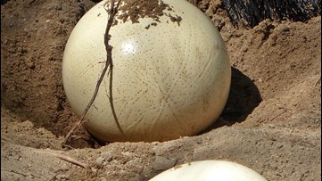Humans Used Ostrich Eggs As 'Likes' For 30,000 Years
