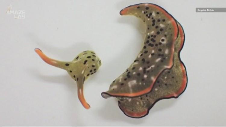 Watch This Sea Slug Detach Its Head and Regenerate a Brand New Body!