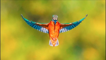 This 'once-in-a-lifetime' shot of a kingfisher in flight has people in awe