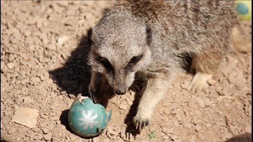 Watch Adorable Meerkats Compete in an Epic Easter Egg Hunt!
