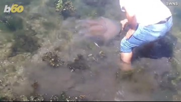 Watch as Man Saves Giant Beached Jellyfish with His Bare Hands!
