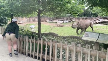 Rambunctious Rhino! Watch This Rhino Prance About When He Sees His Zookeeper!