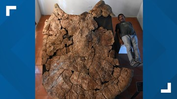 Researchers discover biggest turtle that ever lived had 10 foot shell, horns