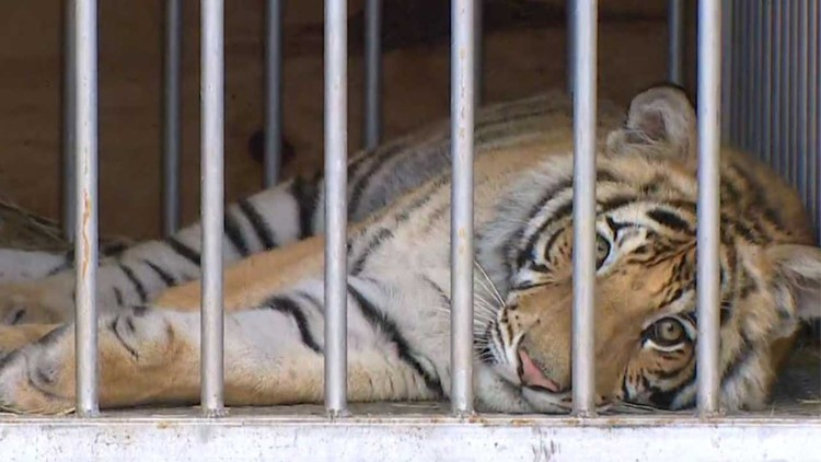 'India' the tiger to be taken to North Texas animal sanctuary after being turned over to Houston police last night