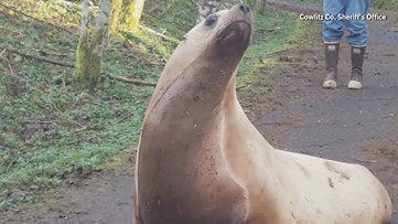 600-pound sea lion found in Washington woods