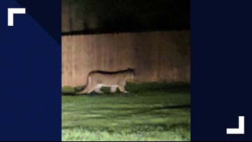 Child attacked by cougar in Washington State, animal euthanized