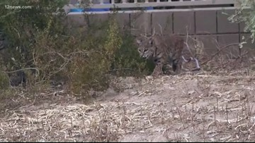 Is South Mountain Freeway construction trapping wildlife?