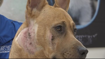 Meet Benny, the pup who survived being shot in the head after he was caught in the cross-hairs of a homicide