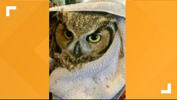 Arizona DPS trooper rescues injured great horned owl during traffic stop near Prescott