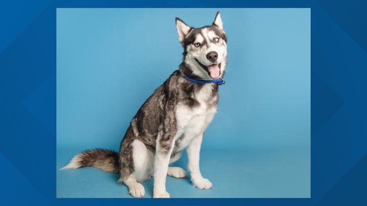 Husky looking for new home in Valley after surviving burns