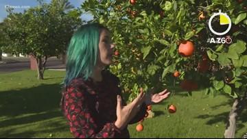 AtoZ60: Turning unwanted backyard fruit into Arizona beer