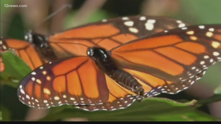 It's butterfly season in the Valley