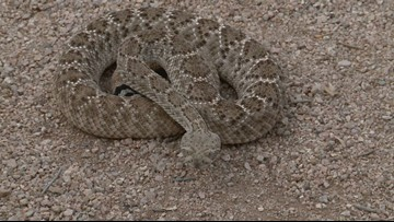 Phoenix wildlife experts warn trick-or-treaters of rattlesnakes this Halloween