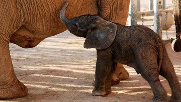 Healthy baby elephant born at Reid Park Zoo in Tucson