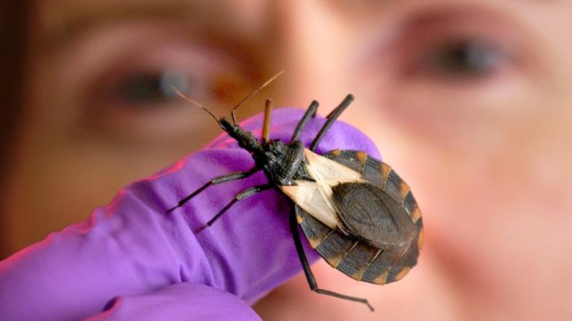 'Kissing bugs' in Arizona: What you need to know