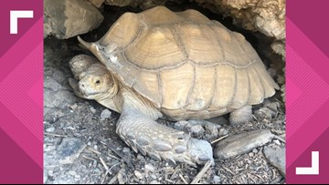 North Valley family's missing tortoise found