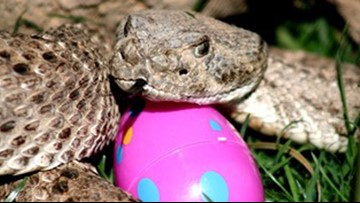 How to avoid rattlesnakes during your Easter egg hunt