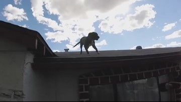 Dog found on top on Phoenix home now up for adoption