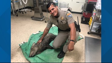 Javelina rescued after stopping traffic on Phoenix freeway