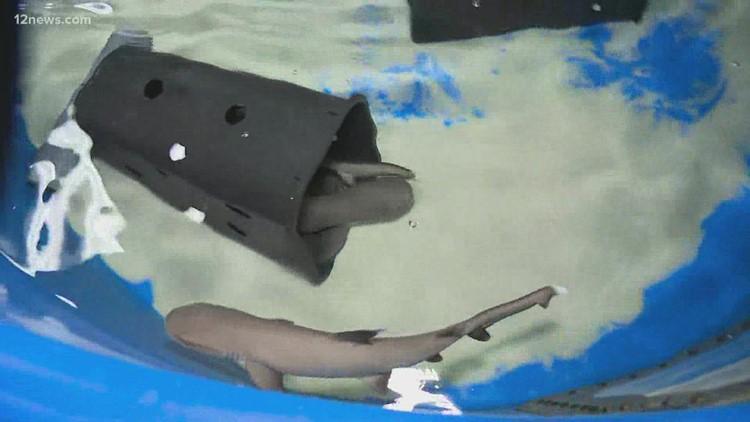 New shark pups born at Arizona aquarium