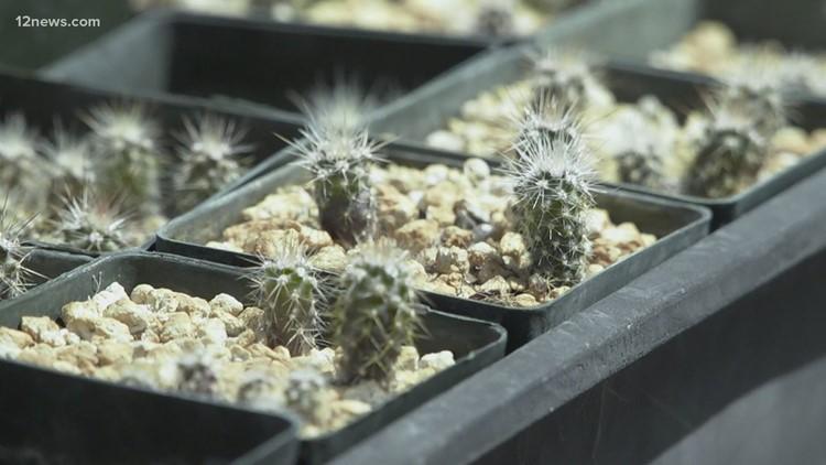 Arizona DOT, Desert Botanical Garden working to save endangered cactus species