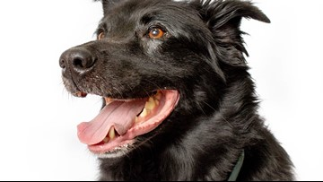 Is the 'Black Dog Syndrome' real?