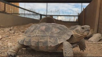 Looking for a new pet? You can adopt a tortoise from AZ Game and Fish.