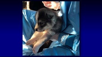 Volunteers needed to cuddle rescued wolfdog puppies in
