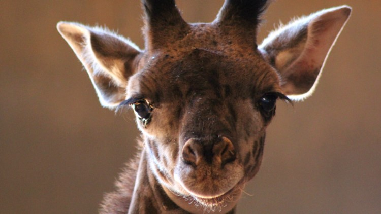 Phoenix Zoo's newest baby giraffe has a name