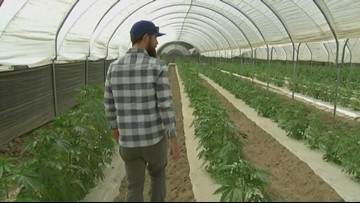 California winemakers butting heads with pot farming neighbors