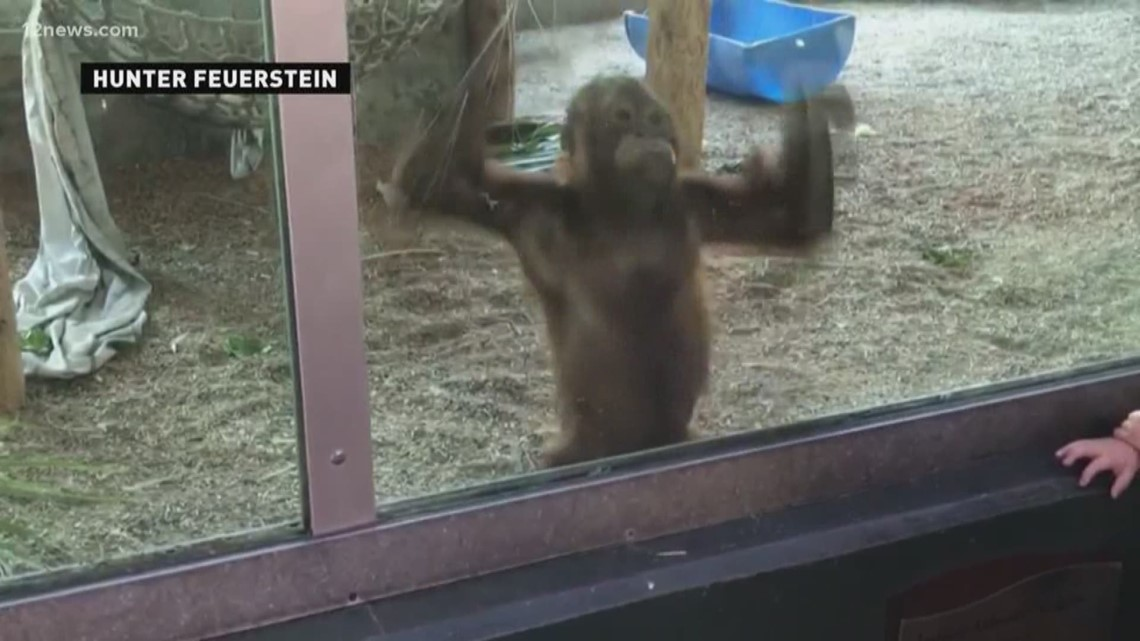 Baby orangutan can't believe Chandler boy's amazing yo-yo tricks