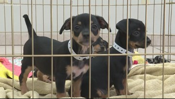 Puppies found in dumpster ready for adoption