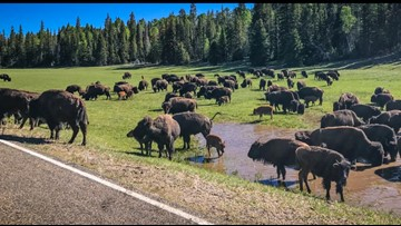 Grand Canyon National Park moves forward with plans to reduce North Rim bison herd