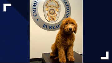Chandler PD's first full-time therapy dog is an adorably fluffy Goldendoodle