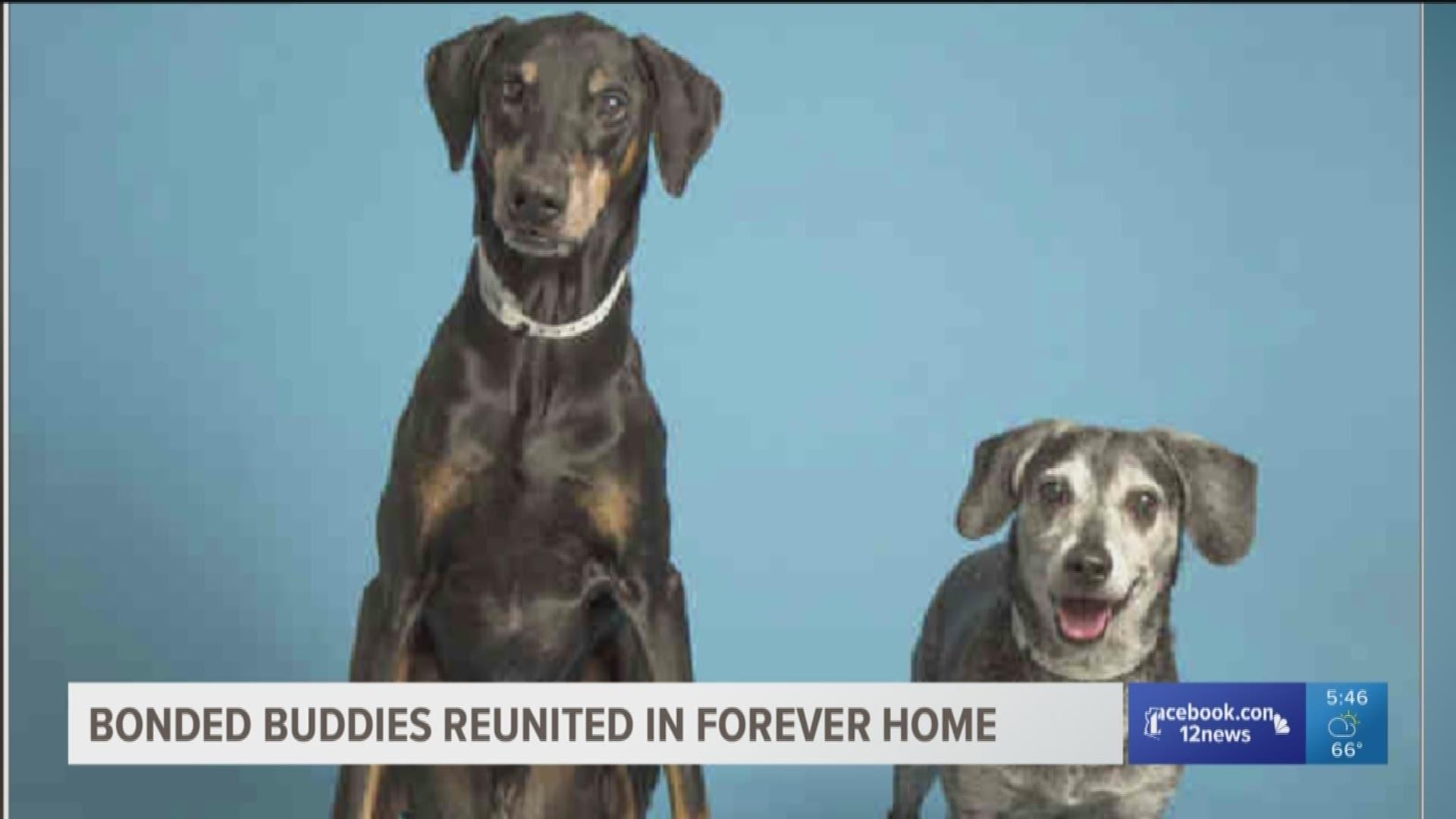 Doberman And Beagle With Lifetime Bond Reunited Through Adoption 12news Com