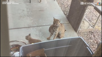 Bobkittens frolic in a Cave Creek yard in adorable video