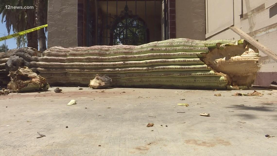 Intense heat topples saguaro cactus