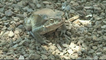 Toxic toads that come out during Arizona monsoon pose danger to dogs