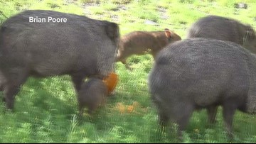Javelina family munches on lunch in Cave Creek
