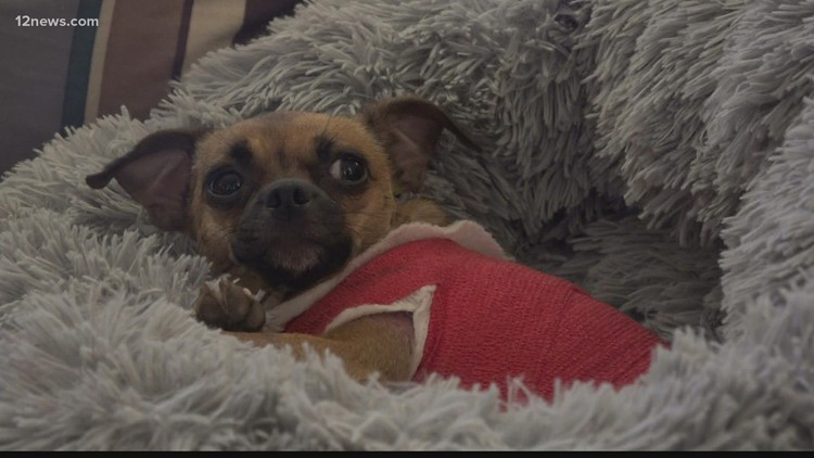 Small dog snatched by coyote saved by neighbor in Apache Junction