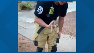 Watch: Mesa firefighters rescue two baby javelinas from storm drain