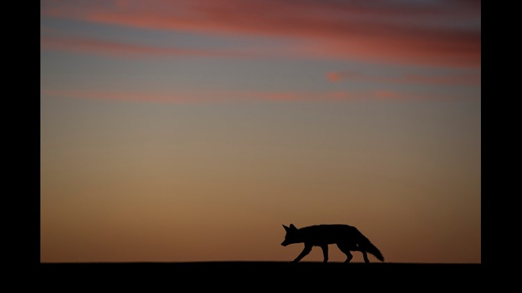 Aggressive coyote attacking Prescott residents, police say
