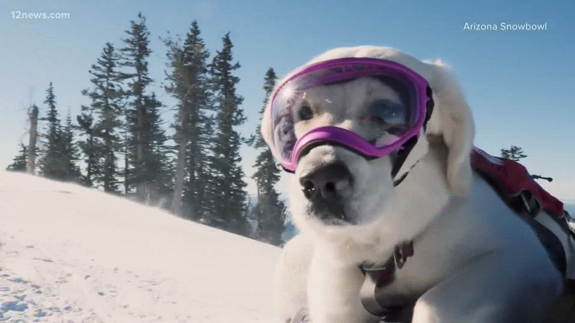 Arizona Snowbowl's avalanche dog is ready for duty