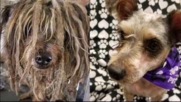 Matted, flea-infested stray pup gets a miraculous transformation