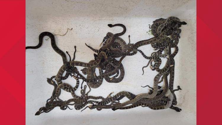 More than 90 snakes found under California home