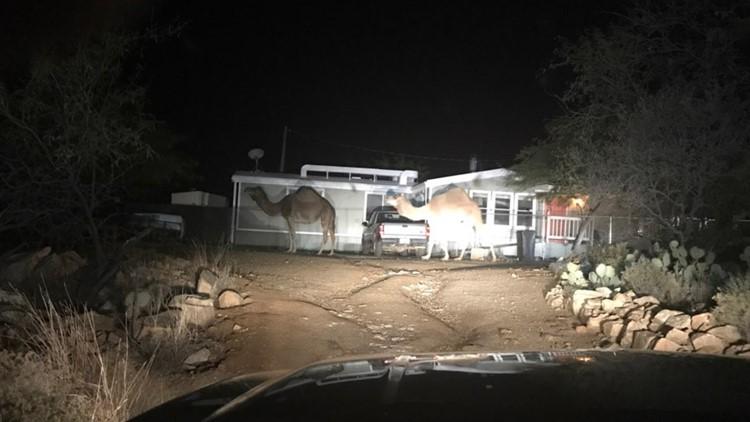 arizona camels