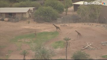 Sky 12 captures the giraffes at Phoenix Zoo enjoying their day