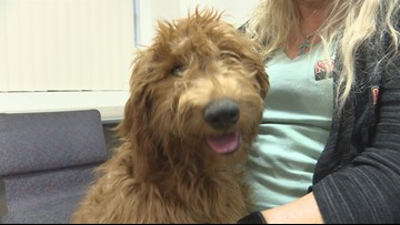 Chandler PD has a new therapy dog, Annie